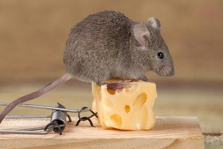 μυοκτωνιες-ποντικια